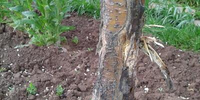 У молодой яблони отслаивается кора. Как помочь?