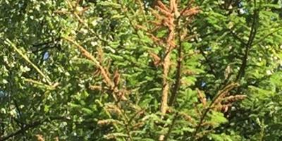 Почему сохнут верхушки елей?