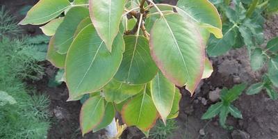 Что случилось с листьями саженцев?