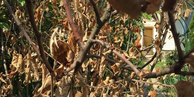 Что могло стать причиной засыхания деревьев?