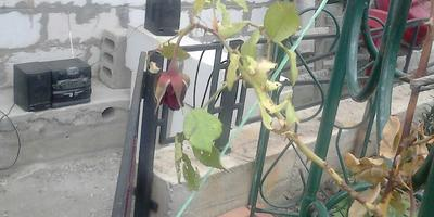 Как спасти плетистую розу?