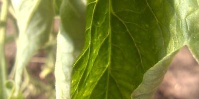 От чего листья у томатов сворачиваются?
