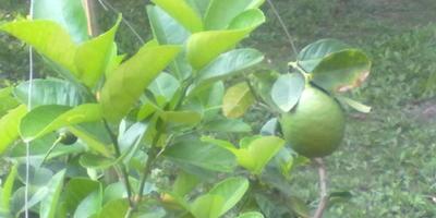 Чем помочь лимону?