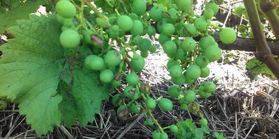 Как оздоровить виноград?