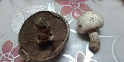 Помогите определить, что это за грибы?
