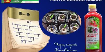 Перец сладкий Вася-Василек F1. II этап