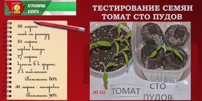 Томат Сто Пудов. II этап