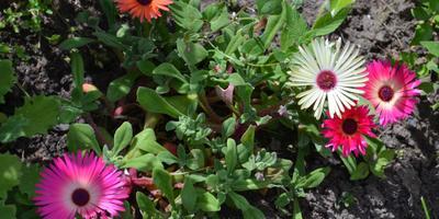 Мезембриантемум - хрустальная ромашка в моем саду