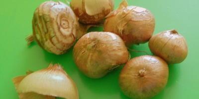 """Нужно ли """"раздевать"""" луковицы крокусов и тюльпанов перед посадкой в грунт?"""