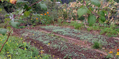 Мой опыт выращивания чеснока