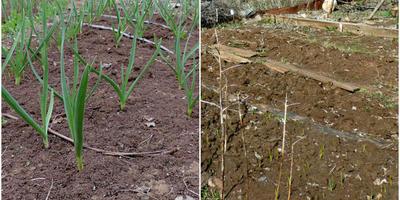 Мой опыт выращивания чеснока. Продолжение