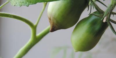 Чем заболел мой помидор и как его вылечить?