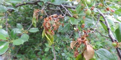 Подскажите, что за болезнь вишни и как её вылечить?