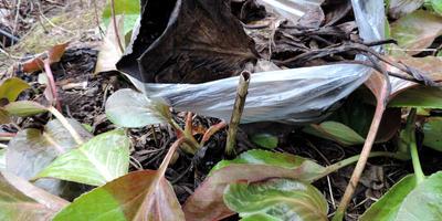 Как подготовить прошлогодние чёрные листья бадана для чая?