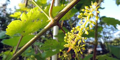 Как ускорить созревание винограда?
