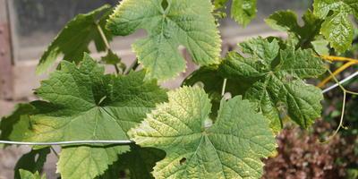 Почему на листьях винограда желтые пятна?