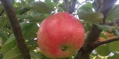 Помогите опознать сорт яблони?