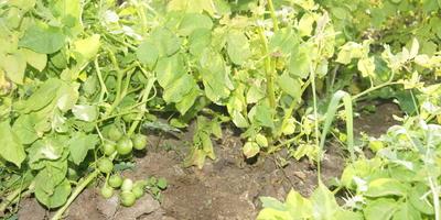 Почему после цветения картофель не всегда образует семена?