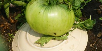 Мой опыт выращивания помидоров