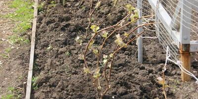 Мой первый опыт выращивания винограда из чубуков