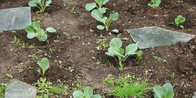 Как вырастить позднюю капусту без хлопот