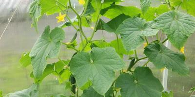 Как получить урожай огурцов в июне