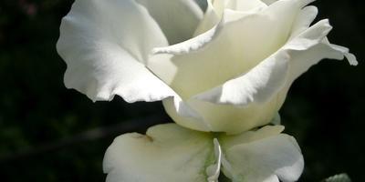 Как я увлеклась розами