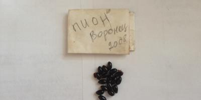 Какой срок всхожести семян у пиона?