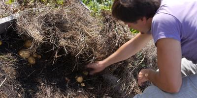 Картофелю под сеном нужен кот на сене
