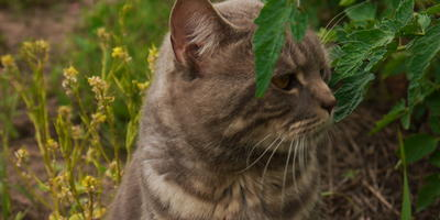 Котовник для котов или в чай?