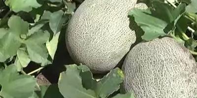 Дыни. Как вырастить и получить урожай?