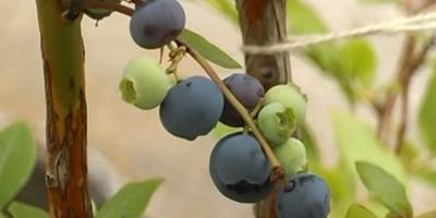 Голубика, ежевика и другие ягоды в моем саду в августе