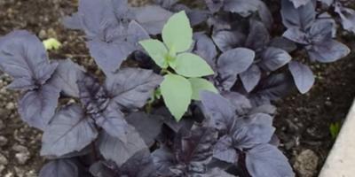 Тепличка оконная)). Урожай за окнами