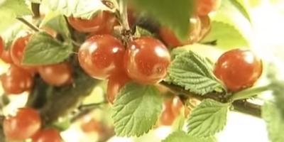 Почти вишневый сад