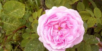 Розы в саду должны быть обязательно!