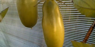 Томат желтый Перцевидный - сорт очень завидный