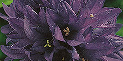 Клубничный розарий