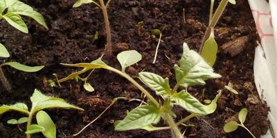 Томат Малиновый Великан. III этап. Развитие растений и уход за ними. Пикировка рассады