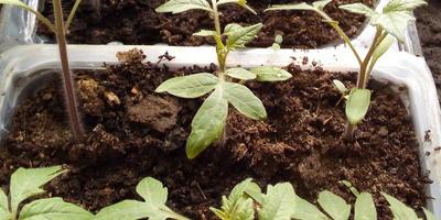 Томат Рубиновый кулон F1. III этап. Развитие растений и уход за ними. Пикировка рассады