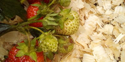 Еще один секрет: как я защищаю ягоды клубники от расклевывания птицами