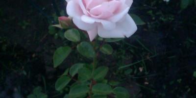Как подготовить розу к зиме? Как правильно произвести обрезку?