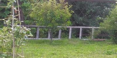 Почему карликовая вишня сбрасывает зеленые листья? Как ей помочь?