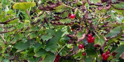 Чем болеет красная смородина и как ее лечить?