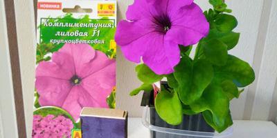 Комплиментуния лиловая F1. IV этап. Развитие и уход за растениями. Цветение
