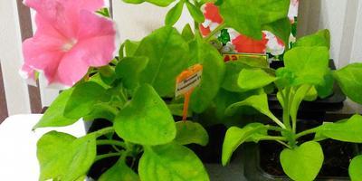 Петуния Александра F1. IV этап. Развитие и уход за растениями. Цветение