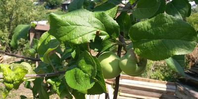 Помогите определить сорт яблок