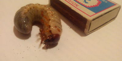 Личинка майского жука или всё же нет?