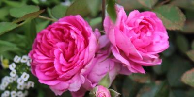 Мои розы. Модерн сентениал