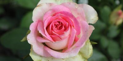 Мои розы. Малибу