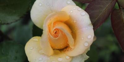 Мои розы. Версилия